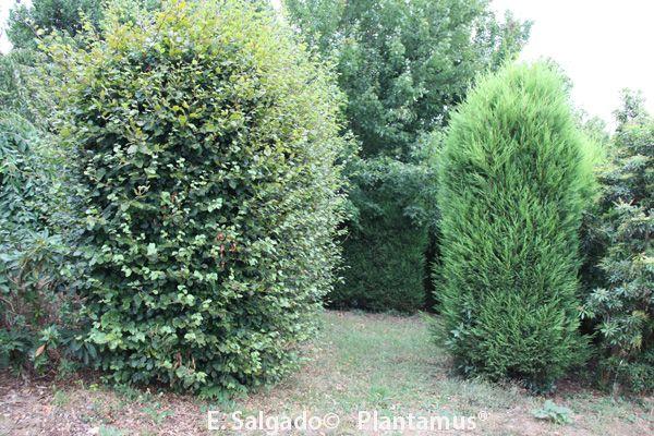 planta para setos. a la izquierda haya común y a la derecha leylandi. https://plantamus.com/tienda/