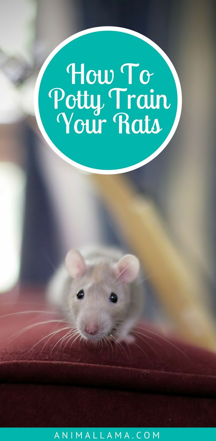 24 best Rats images on Pinterest | Dwarf hamsters, Hamster stuff and ...