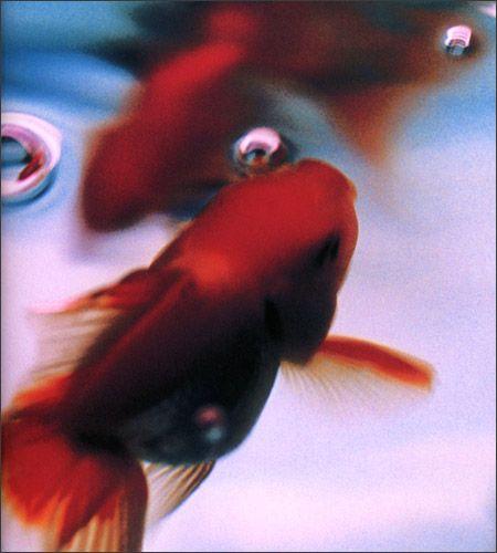 Golden fishes Photograph by Mika Ninagawa: Liquid Dreams