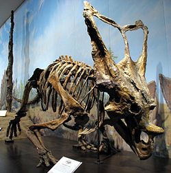 Chasmosaurus (/ˌkæzmɵˈsɔrəs/ kaz-mo-sawr-əs) is a genus of ceratopsid dinosaur from the Upper Cretaceous Period of North America. Its name means 'opening lizard', referring to the large openings (fenestrae) in its frill (Greek chasma meaning 'opening' or 'hollow' or 'gulf' and sauros meaning 'lizard'). With a length of 4–5 metres (13–16 ft) and a weight of 2 tonnes (2.2 short tons), Chasmosaurus was a ceratopsian of average size. Like all ceratopsians, it was purely herbivorous.
