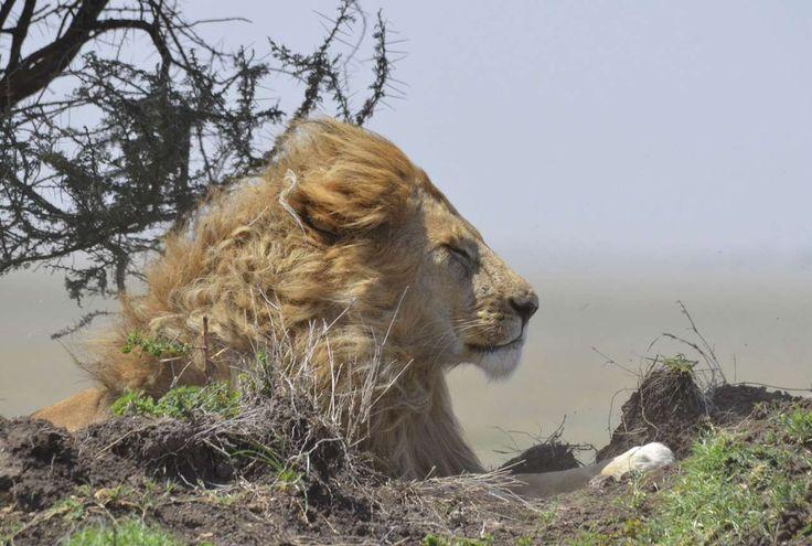 """National Geographic  Travel Photographer of the Year Contest-""""Στο έλεος της μητέρας φύσης"""". Σερενγκέτι (εθνικό πάρκο της Τασμανίας), εντοπίσαμε το μεγαλύτερο λιοντάρι που είχαμε δει στο ταξίδι μας, το οποίο όμως κοιμόταν βαθιά. Χρειάστηκε η μητέρα Φύση και μία ανεμοθύελλα για να ενοχληθεί το μεγαλοπρεπές αυτό πλάσμα. Ξύπνησε αρκετά αναστατωμένο και όταν ο άνεμος κόπασε, επέστρεψε στον υπνάκο του» γράφει η φωτογράφος"""