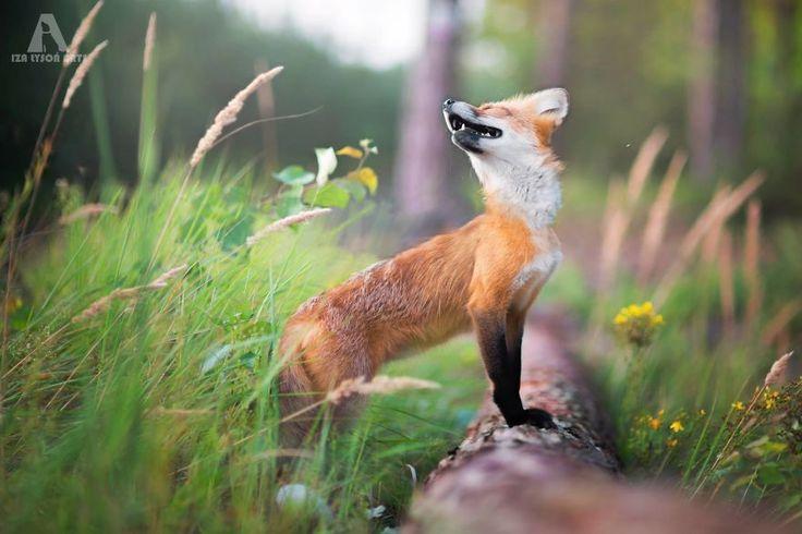 Freya-ce-magnifique-renard-domestique-par-Iza-lyson-14