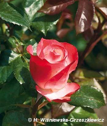 Róża wielkokwiatowa 'Neue Revue' Rosa 'Neue Revue'  Kwiaty są dwubarwne, bardzo interesujące - zewnętrzna strona płatków jest kremowobiał...