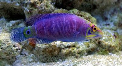Wrasse fish reef safe wrasse fish aquatic connection for Best reef safe fish
