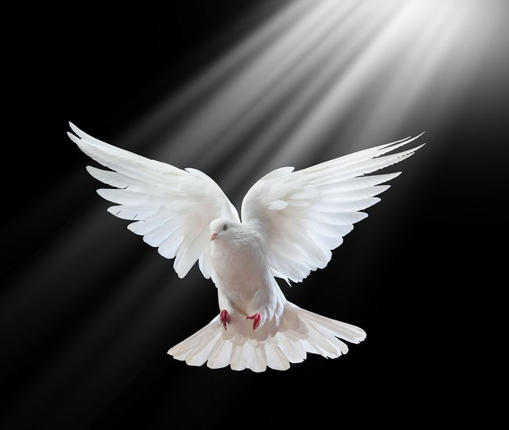 holy spirit white light fire | bigstock-A-free-flying-white-dove-isola-12762098
