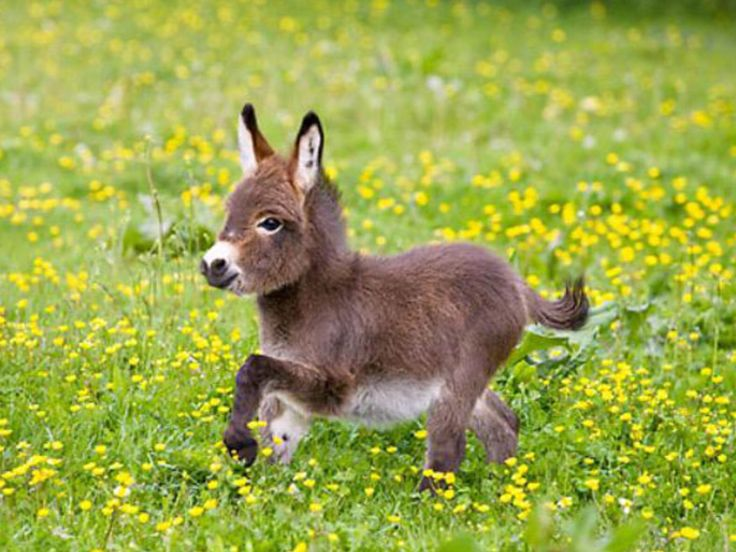 Dwarf Donkey. Because, Donkey!