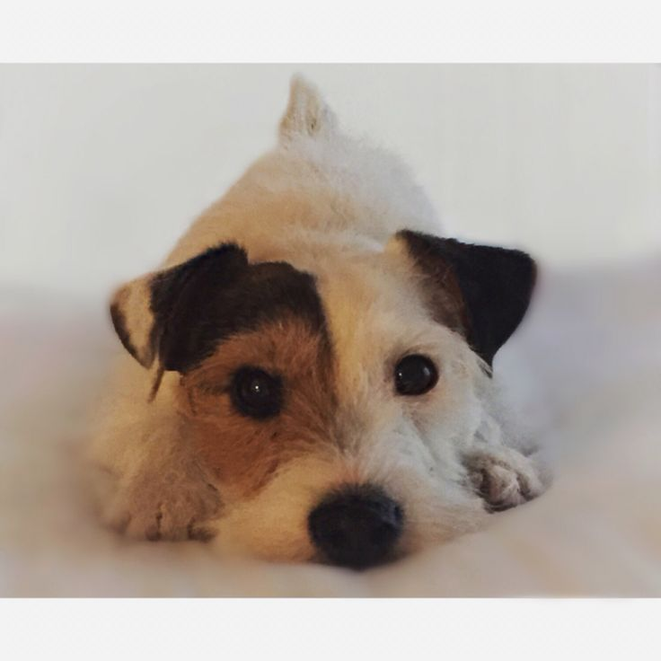 Let's play! Scout - Jack Russell Terrier                                                                                                                                                                                 More