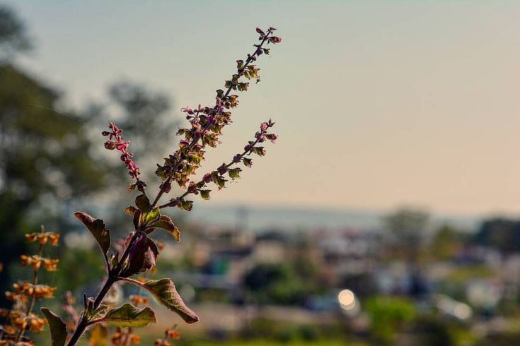 The Holy  basil, scientific name: Ocimum tenuiflorum. Commonly found in every…