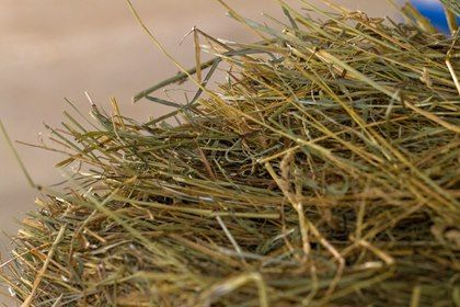 Six Signs of Good-Quality Horse Hay - TheHorse.com | Use these six helpful tips when evaluating and choosing hay for your horse. #horses #horsehealth #TheHorse #hay #feedinghorses