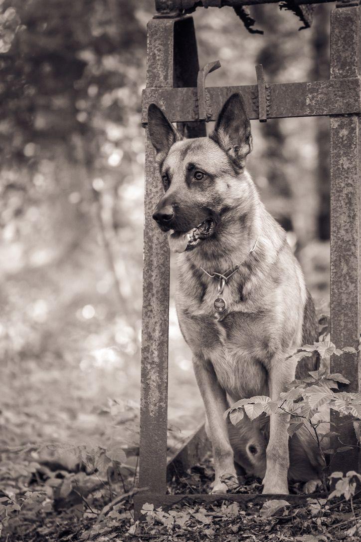 German Shepherd Belgian Malinois In 2020 Dog Training Dog Care Tired Puppy