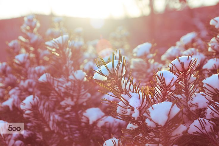 The first fall of snow on small shrubs and flower plants in Toronto. The beautiful morning sun providing a backlit glow on the leaves. Little joys of life.