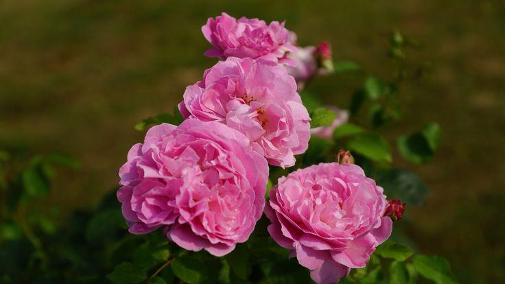 Mary Rose by David Austin