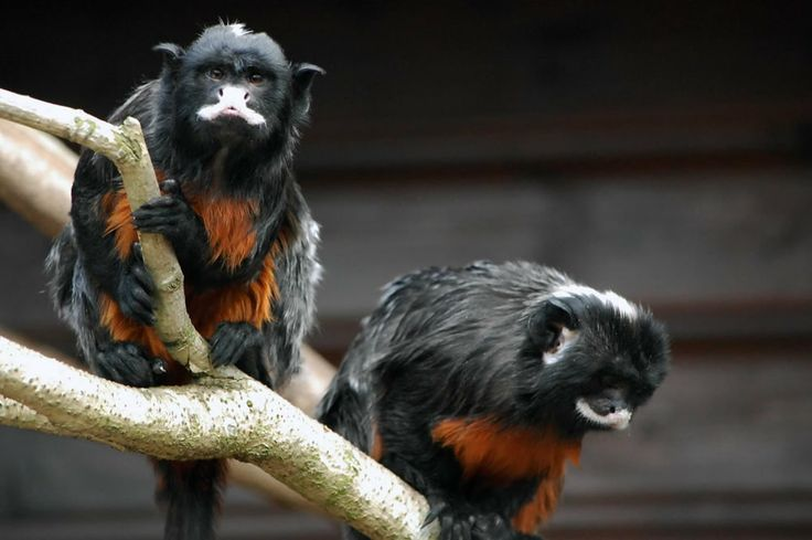 Best Primates New World Whitelipped Tamarin Images On - The 12 best zoos in the world