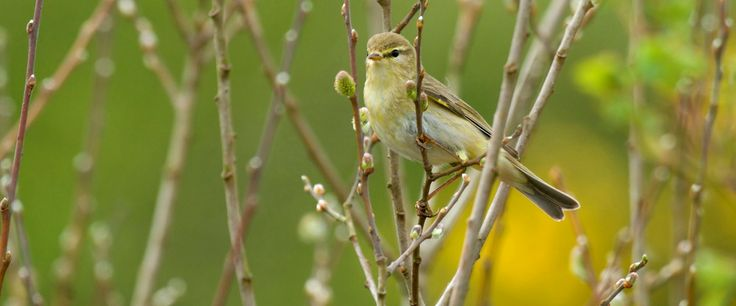Willow warbler perched in a bare tree, April