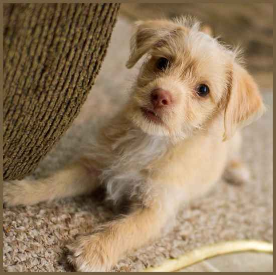 Chihuahua poodle mix