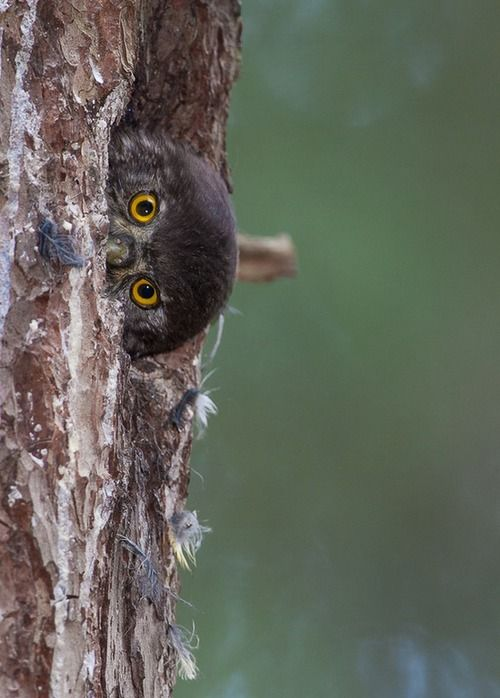 Peekaboo baby owl.