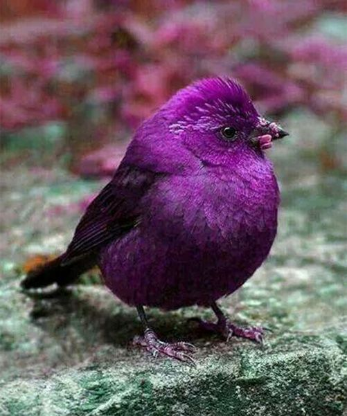 Amazing Purple Bird – Beautiful