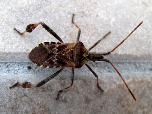 The Joyce Road Neighborhood: Western Conifer Seed Bug