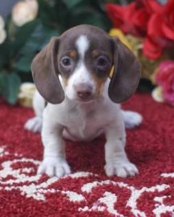 Dachshund Breeder, Located in Idaho, MGM Miniature Dachshunds ( Sold Puppies)