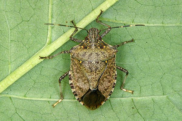Finally, an EASY way to get rid of them! - 2 common household items are all you need to get rid of stink bugs