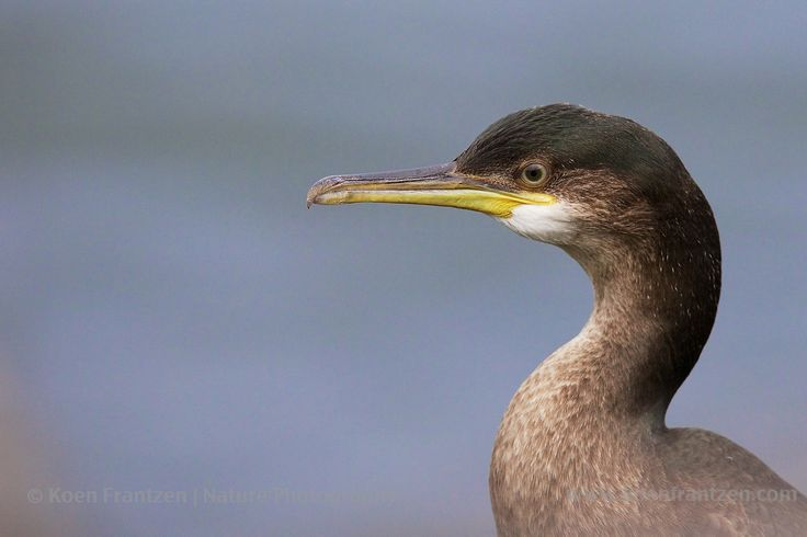 European shag (Phalacrocorax aristotelis), Zuidpier, IJmuiden, The Netherlands