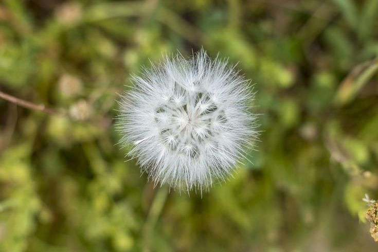 Flower ball (Tragopogon pratensis) standing in a green meadow, picture from the Northern Cyprus.