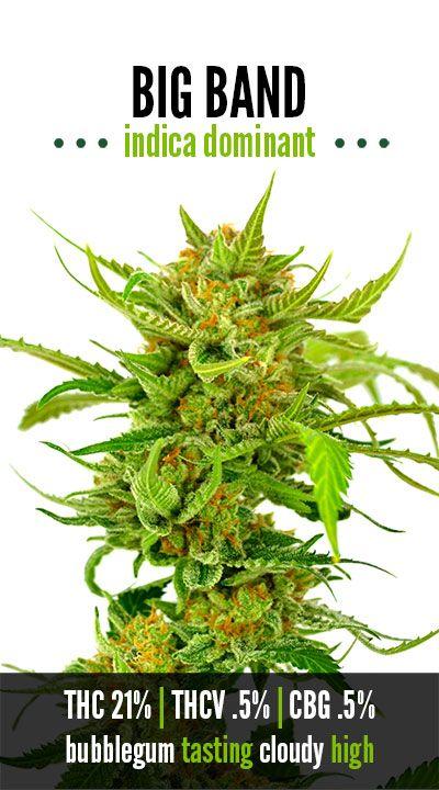 Big Band   Repined By 5280mosli.com   Organic Cannabis College   Top Shelf Marijuana   High Quality Shatter