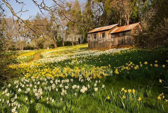 Mclaughlin S Daffodil Hill At The Peak Of The Daffodil