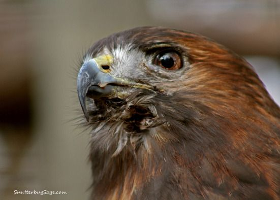 Red-tailed hawk at the Sunset Zoo in Manhattan, Kansas