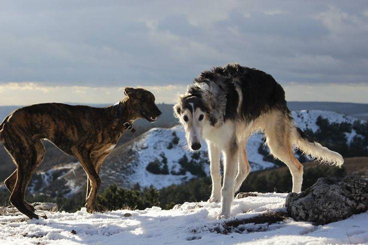 Best friends/ Hungarian Greyhound-Fényűző Andrássy Gróf & Borzoi- Zvezdnaya Raduga Glavar