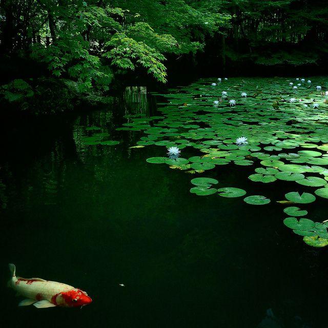 1000 images about beautiful koi fish on pinterest for Nishinomiya tsutakawa japanese garden koi