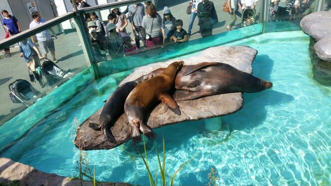 Resting for the day.. 3 drowsy seals at Ueno Zoo park, Tokyo, Japan.