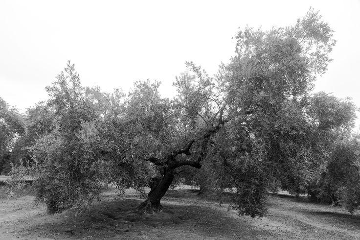 Chopo-Lopera - Los chopos de Lopera (Jaen) son posiblemente los olivos más viejos que existan en el término, centenarios se alzan imponentes en la campiña regalándonos formas imposibles.