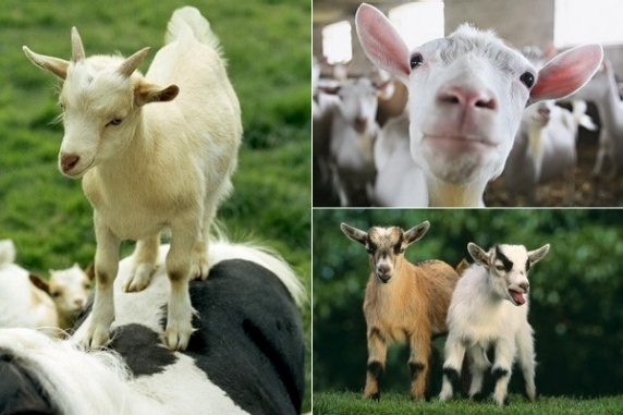 Who knew...goats are pretty cool!
