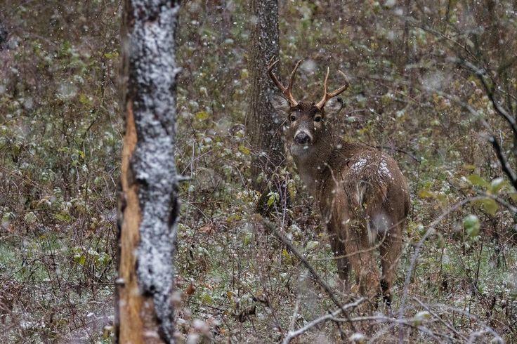 Белохвостый олень в штате Мичиган, США.