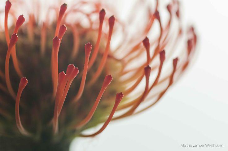 Red Pincushion macro - Photo by Martha van der Westhuizen
