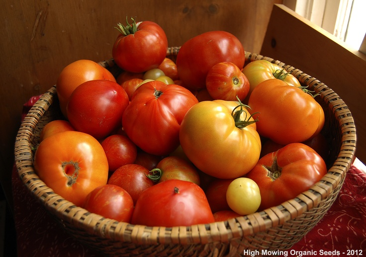 Organic Tomato harvest from our Trials Gardens - High Mowing Organic Seeds