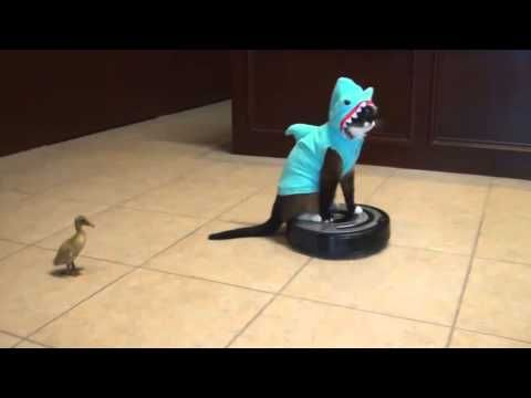 Want to see a cat in a shark costume riding a Roomba chasing a duck?  Well today is your lucky day! How great is this cat nonchalantly riding the Roomba :)