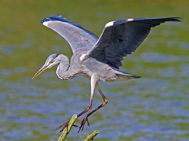 Blauwe Reiger - Grey Heron - Fishreiher - Ardea cinema  #naturephotography #natuurfotografie #photography #fotografie #nature #natuur #fauna #instaphoto #instafoto #picoftheday #vogels #vogel #birds #bird  #vroegevogels_vara #natuurmonumenten #vogelbescherming http://tipsrazzi.com/ipost/1505264428203125773/?code=BTjxgWwFCwN