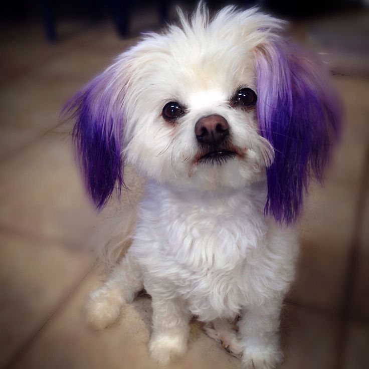 I dyed Marilyn's ears with purple food coloring, not hair dye.I blotted her ears with a saturated cotton ball. It took 5 minutes and it's safe, which is the most important part.