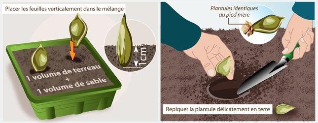 Variante 4 : bouturez des feuilles de succulentes