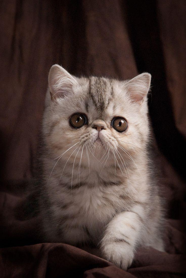 Persian cat association uk