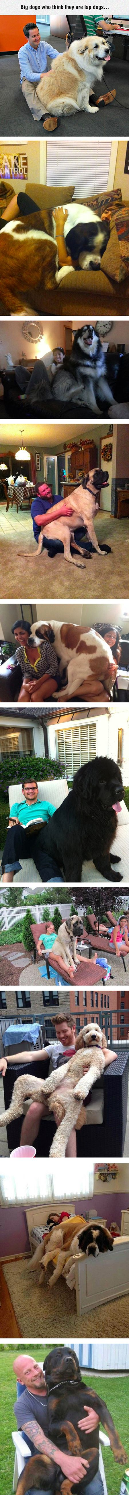 10 gigantic dogs who still think they are puppies.