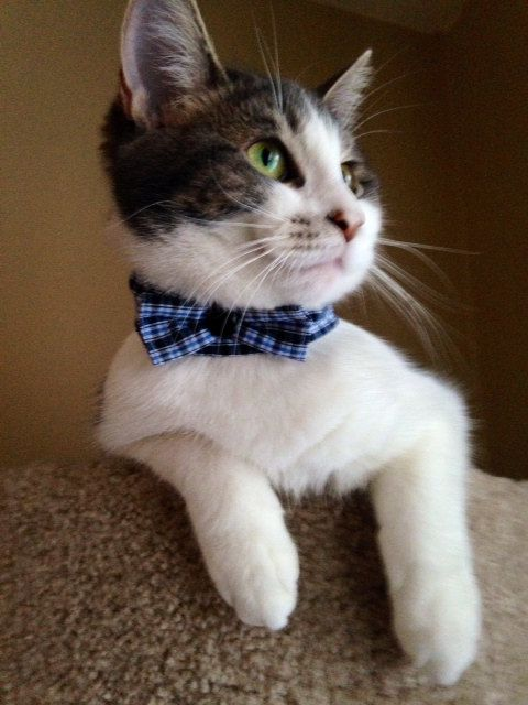 Cute Cat/Dog Collared Bow-Tie Accessory!