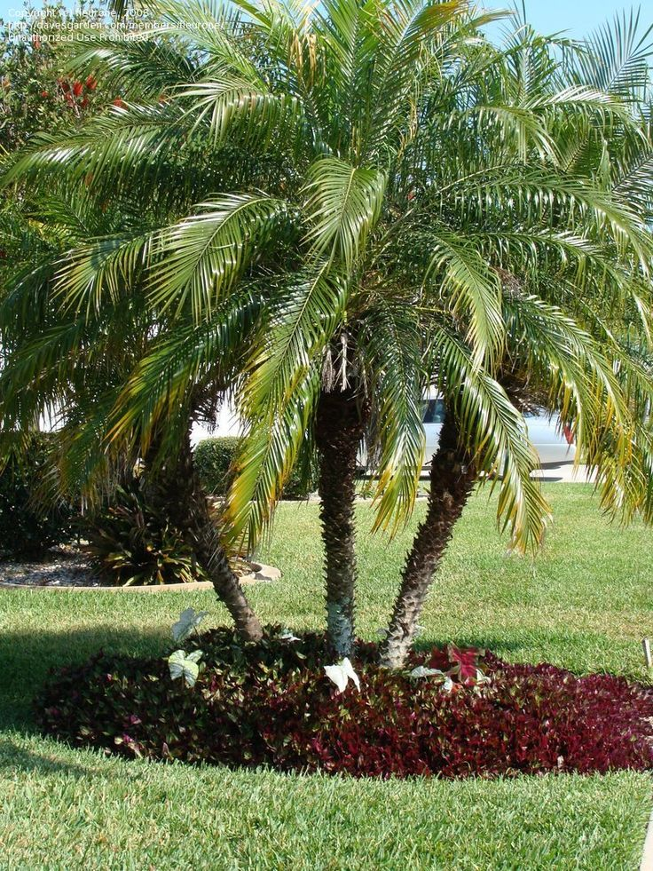 Full Garden In Backyard: Full Size Picture Of Pygmy Date Palm