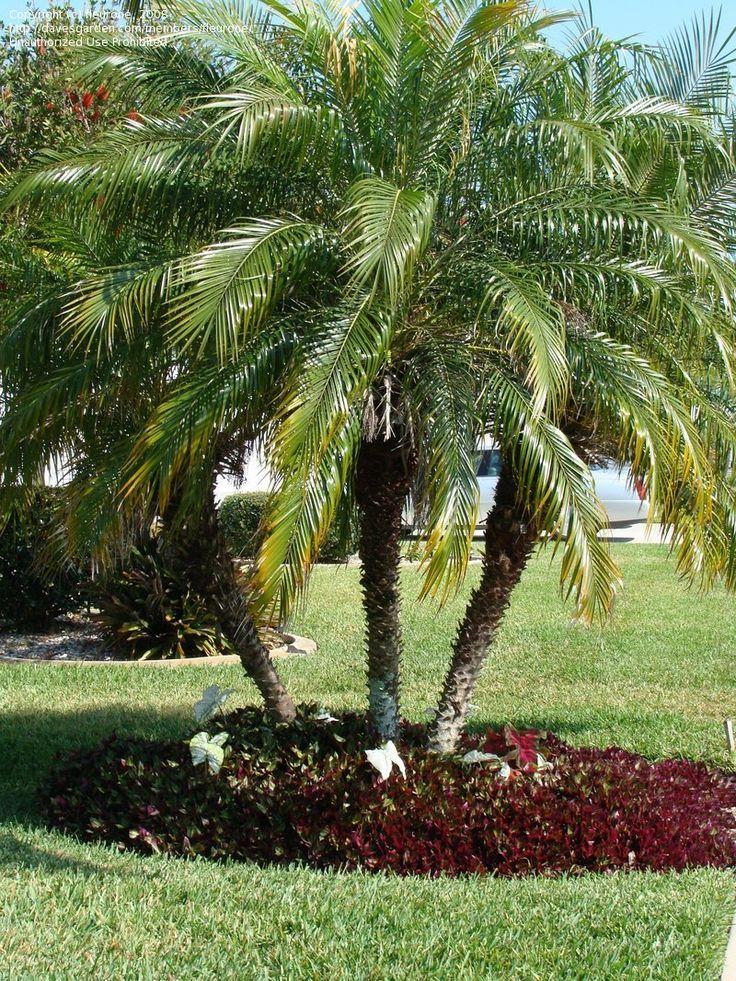 (Pr) Phoenix roebelenii. Date Palm, triple