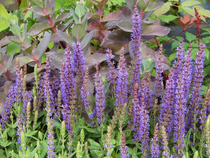 Salvia East Friedland