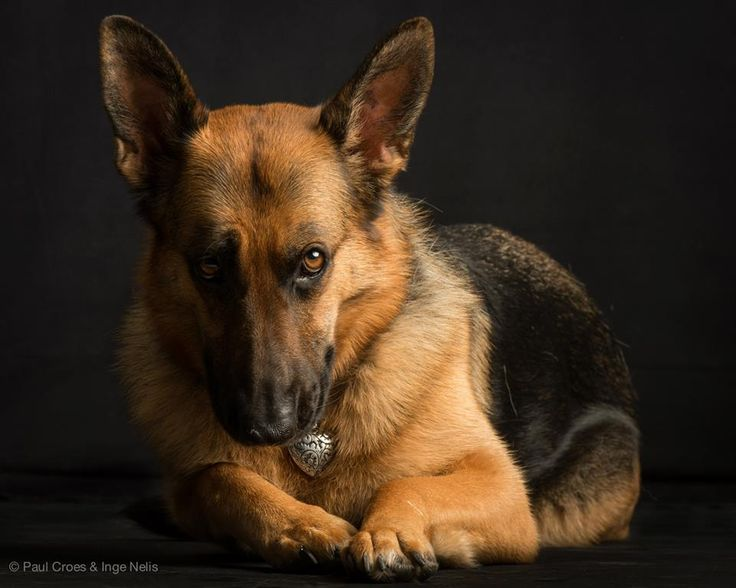 German Shepherd, Paul Croes photography