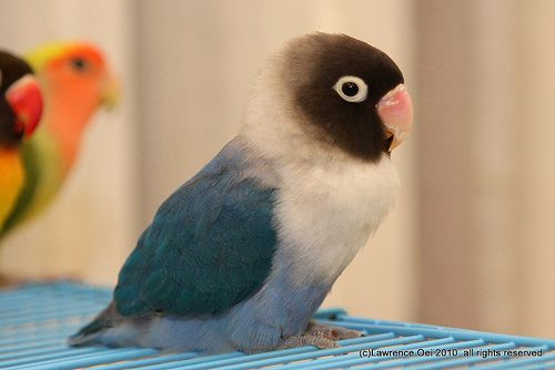 Black-masked lovebird (Agapornis Personata) with cobalt color mutation.