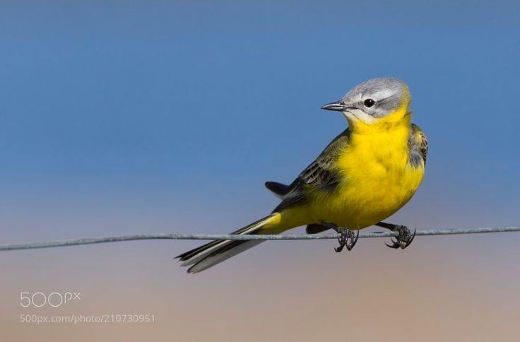 Yellow wagtail by LindaHghVendelbo via http://ift.tt/2qbfwOW